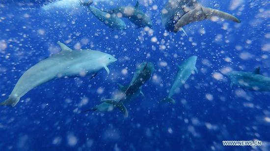Fraser's dolphins are seen in the South China Sea, July 20, 2020. Chinese researchers have spotted 11 whale species in the South China Sea during a deep-sea scientific expedition, the Chinese Academy of Sciences said Tuesday. (Xinhua/Zhang Liyun)