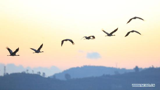 A flock of black-necked cranes hover over the Caohai National Nature Reserve, a popular destination among migratory birds, in Weining Yi-Hui-Miao Autonomous County, Bijie, southwest China's Guizhou Province, Nov. 16, 2020. (Photo by Wang Chunliang/Xinhua)