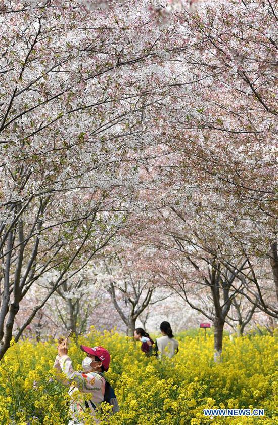 Tourists view cherry blossoms at a cherry tree garden in Xingyang, central China's Henan Province, March 24, 2020. (Xinhua/Hao Yuan)