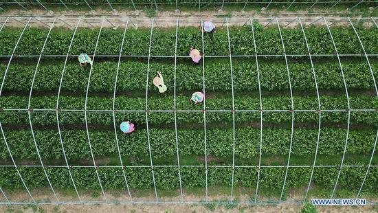 Aerial photo shows workers picking tea leaves at Qu Baomin's tea garden at Tonghua Village in Lincheng County, north China's Hebei Province, May 7, 2019. In 2012, Qu Baomin and his wife Yang Suzhen contracted 30 mu (two hectares) of lands to plant tea at the village. Over the years, Qu has dedicated to organically farming his tea garden to ensure high tea quality, by which his products have been well received in some big cities across the country, including Beijing and Tianjin. Under his leading in tea planting, over 100 people living in surrounding areas have been lifted out of poverty. (Xinhua/Mu Yu)