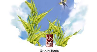Grain Buds: When grains are about to ripen