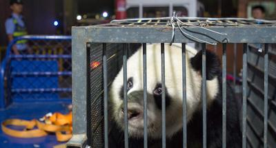Panda home after alleged mistreatment