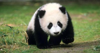 San Diego Zoo to bid farewell to giant pandas