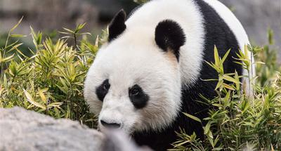 10th birthday overseas of two pandas celebrated at Adelaide Zoo in Australia
