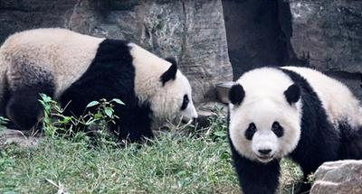 Twin pandas meet the public at Beijing Zoo