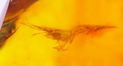 Rare amber holds prawn from 22m years ago