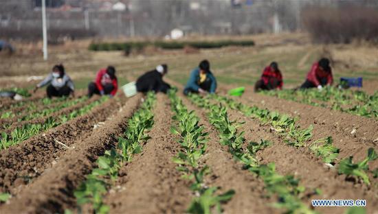 Photo taken on March 13, 2019 shows farmers working in fields at Yanshankou Village of Tangzitou Township in Tangshan, north China's Hebei Province. (Xinhua/Liu Mancang)