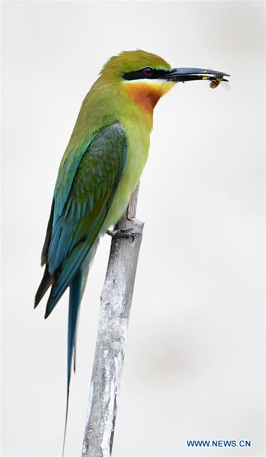 A blue-tailed bee eater is seen at Wuyuanwan blue-tailed bee eater nature reserve in Xiamen, southeast China's Fujian Province, May 19, 2020. (Xinhua/Wei Peiquan)