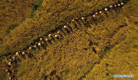 Aerial photo taken on Nov. 17, 2019 shows villagers harvesting Shanlan rice in Yongchu Village, Qingsong Township, Baisha Li Autonomous County, south China's Hainan Province. The annual Shanlan cultural festival of Baisha kicked off here on Sunday, on which the locals celebrated the bumper harvest of local Shanlan rice and prayed for a favorable weather for farming next year together. (Xinhua/Yang Guanyu)