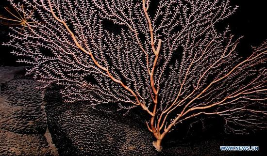 Photo taken on April 9, 2018 shows the coral on Magellan Seamounts in the west Pacific. Chinese scientists on board research vessel Kexue, or
