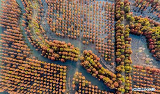 Aerial photo taken on Nov. 15, 2020 shows a dawn redwood forest at Hongze Lake Wetland Scenic Area in Sihong County, Suqian, east China's Jiangsu Province. (Photo by Xu Changliang/Xinhua)