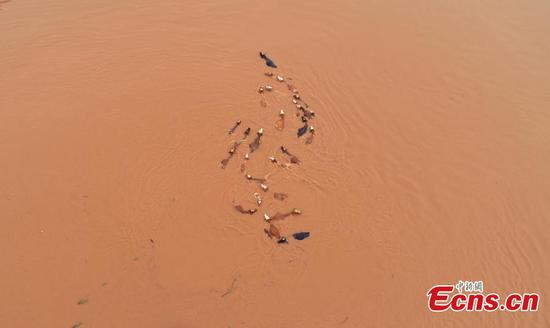 After days of strong rain, cows remain trapped by flood waters near the Ganjiang River in Taihe County, East China's Jiangxi Province, in this aerial photo taken June 12, 2019. Parks and fields in the county were submerged, while roads were closed and electricity supplies cut. (Photo: China News Service/Deng Heping)