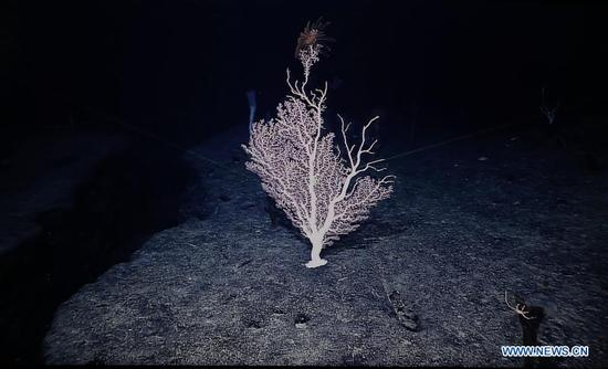 Photo taken on April 11, 2018 shows the coral on Magellan Seamounts in the west Pacific. Chinese scientists on board research vessel Kexue, or