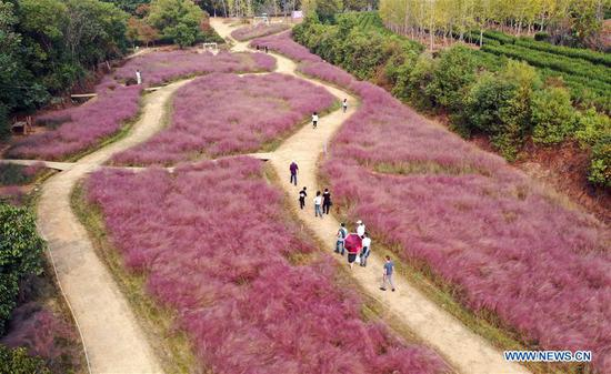 Aerial photo taken on Oct. 6, 2019 shows tourists viewing pink muhly grass in the Fenghuanggou scenic area during the National Day holiday in Nanchang, capital of east China's Jiangxi Province. (Xinhua/Peng Zhaozhi)