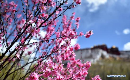 Photo taken on April 8, 2019 shows flowers near the Potala Palace in Lhasa, capital city of southwest China's Tibet Autonomous Region. (Xinhua/Chogo)