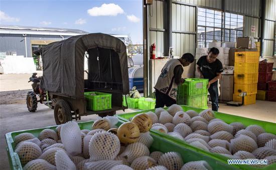 Villager Zhang Jianwei (L) carries pepino melons at a farmers' specialized cooperative in Luhua Village of Xijiekou Township in Shilin Yi Autonomous County, southwest China's Yunnan Province, Nov. 30, 2019.