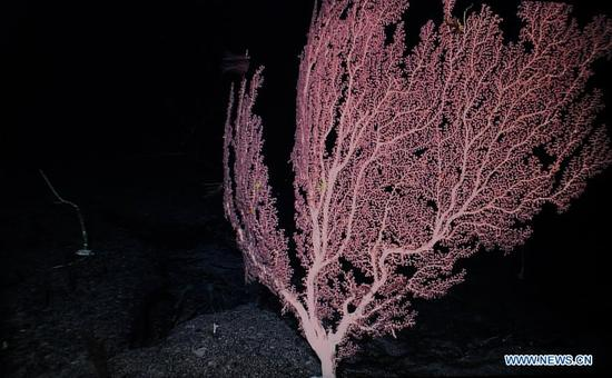 Photo taken on April 9, 2018 shows the corals on Magellan Seamounts in the west Pacific. Chinese scientists on board research vessel Kexue, or