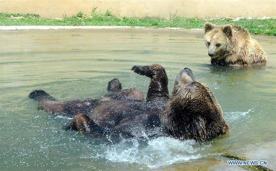 Two bears stay in a pool at Shangfangshan forest zoo in Suzhou, east China's Jiangsu Province, May 16, 2018. Heat wave hit Jiangsu Wednesday with temperatures over 35 degrees Celsius in some places. (Xinhua/Hang Xingwei)