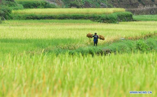 A villager carries bales of paddy rice at Wuying, a village of Miao ethnic group under joint administration by Rongshui County in Guangxi Zhuang Autonomous Region and its neighbouring Congjiang County of Guizhou Province, Sept. 3, 2019. Farmers of Miao ethnic group here are busy harvesting paddy rice as the weather is fair recently. (Xinhua/Huang Xiaobang)
