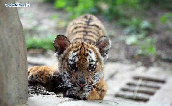 A South China Tiger cub is seen at a zoo in Luoyang, central China's Henan Province, May 11, 2019. Six South China Tiger cubs, who were born in the zoo at the beginning of this year, are now allowed to meet the public. (Xinhua/Liu Gaoyang)