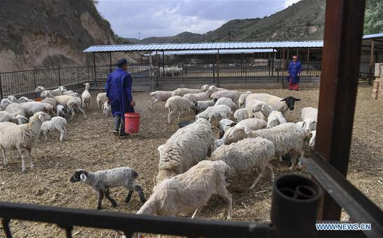 Villagers feed a sheep herd at Yangchengzi Village of Wuqi County in Yan'an City, northwest China's Shaanxi Province, June 6, 2019. Wuqi County has carried out a development policy since 1998 that returned farmland to forest for ecological protection and sustainable development purposes. (Xinhua/Tao Ming)