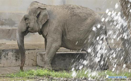 An elephant is sprayed with water to cool down at Beijing Zoo in Beijing, capital of China, July 30, 2020. Beijing Zoo has prepared facilities to help animals fend off the summer heat in recent days. (Xinhua/Li Xin)