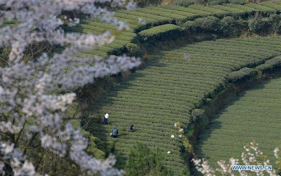 Villagers pick early spring tea leaves at Denglongba Village of Bajiao Dong ethnic Township in Enshi City, Enshi Tujia-Miao Autonomous Prefecture, central China's Hubei Province, March 11, 2019. With the temperature rising, farmers are busy with their farm work. (Xinhua/Yang Shunpi)