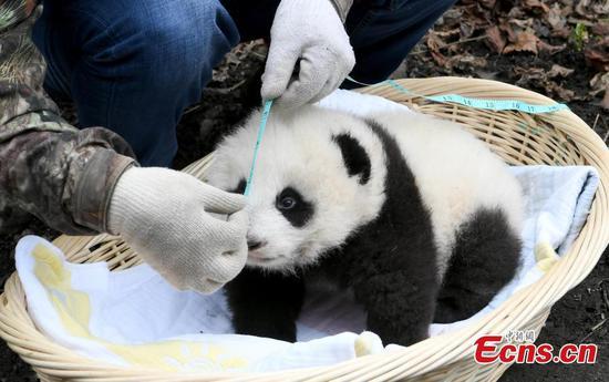 熊猫妈妈在野外交配后返回中心 3