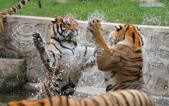 Siberian tigers frolic in water at Hengdaohezi Siberian Tiger Park in Hailin, northeast China's Heilongjiang Province, July 28, 2020. Siberian tigers in the park have lessened their activities and took various ways to cool off in the midsummer. (Xinhua/Wang Jianwei)