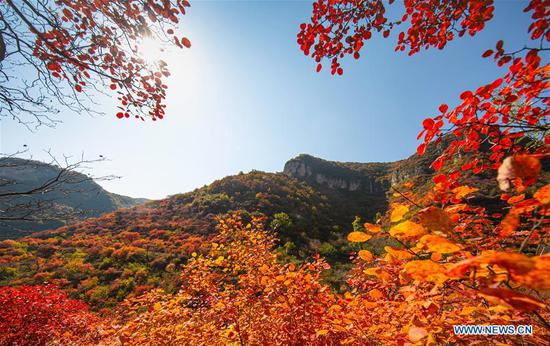 Photo taken on Oct. 31, 2019 shows red leaves in Dashuijiao Village of Wu'an City, north China's Hebei Province. The Taihang mountains attract lots of visitors as the leaves change colors in autumn. (Xinhua/Wang Xiao)