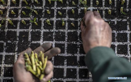 A villager plants pepino melon seedlings at a pepino melon seedling center in Luhua Village of Xijiekou Township in Shilin Yi Autonomous County, southwest China's Yunnan Province, Nov. 30, 2019.