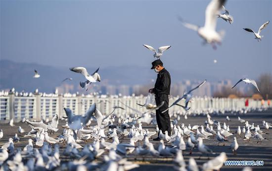 A staff member feeds black-headed gulls by the bank of Dianchi Lake in Kunming, southwest China's Yunnan Province, Feb. 2, 2020. As many parks close due to the outbreak of pneumonia caused by novel coronavirus, local authorities arrange staff to feed black-headed gulls twice a day to make sure they overwinter safely. (Xinhua/Jiang Wenyao)