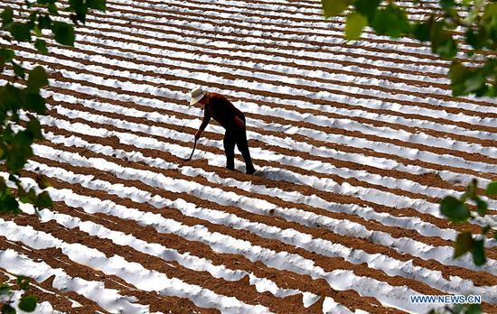 A farmer works in a field in Gushan Village of Lucun Township, Yiyuan County, Zibo, east China's Shandong Province, May 5, 2019. Farmers have been busy with agricultural production in the farming season around Lixia, a solar term in the Chinese calendar which signifies the beginning of summer. (Xinhua/Zhao Dongshan)