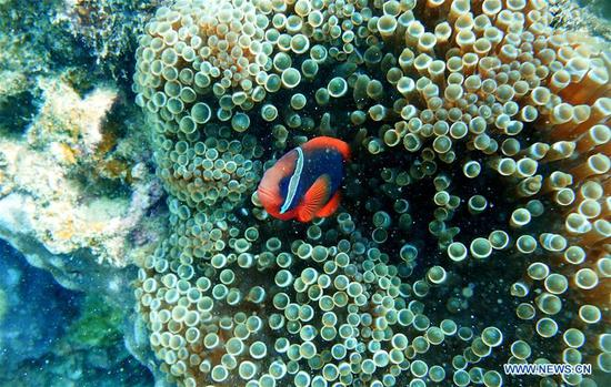 A clownfish swims around sea anemones at the sea area of Fenjiezhou Island in south China's Hainan Province, Sept. 12, 2018. People on the Island have devoted to the protection and nurturing of corals for more than a decade. Under guidance of marine experts, they put man-made reefs under sea to create growing conditions for corals, which in turn improves the habitat for fish. The ecosystem of coral reef around the Island is preserved well now. (Xinhua/Ding Xu)