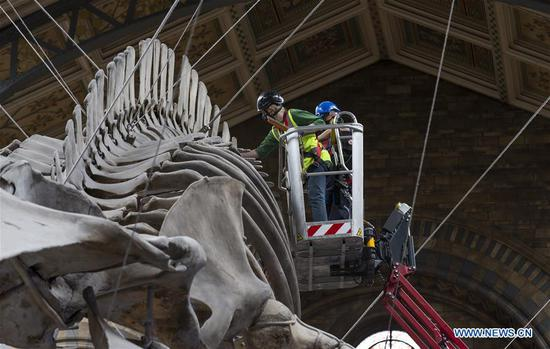Staff members polish the blue whale skeleton at Hintze Hall of Natural History Museum before its reopening in London, Britain, on July 27, 2020. The Natural History Museum will reopen from August 5. (Xinhua/Han Yan)