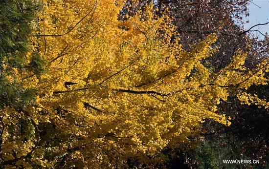Photo taken on Dec. 6, 2017 shows ginkgo trees at Yunnan University in Kunming, capital of southwest China's Yunnan Province. On the campus of Yunnan University, there is a road sided with ginkgo trees. Each year during the late autumn and early winter, the beautiful scenery of ginkgo trees here would attract lots of tourists. (Xinhua/Yang Zongyou)