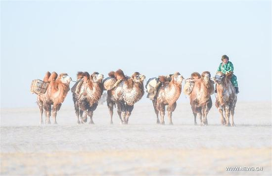A herdsman leads camels on the snow-covered Sunite prairie in Sunite Right Banner, north China's Inner Mongolia Autonomous Region, Jan. 9, 2018. A camel fair, a local traditional festival including camel race and camel beauty contest, was held in the Banner on Tuesday. More than 200 camels took part in the fair. (Xinhua/Lian Zhen)