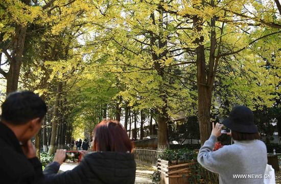 Tourists take pictures of ginkgo trees in Yunnan University in Kunming, capital of southwest China's Yunnan Province, Dec. 6, 2017. On the campus of Yunnan University, there is a road sided with ginkgo trees. Each year during the late autumn and early winter, the beautiful scenery of ginkgo trees here would attract lots of tourists. (Xinhua/Yang Zongyou)