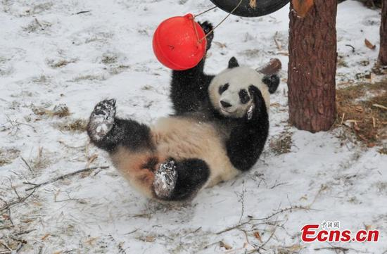 A giant panda plays in the snow at Shenyang Forest Zoological Garden in Shenyang City, the capital of Northeast China's Liaoning Province, Jan. 8, 2018. Shenyang had its first snowfall of the year on Monday. (Photo: China News Service/Yu Haiyang)