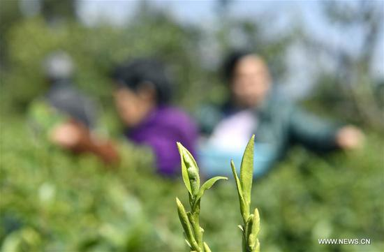 Farmers pick spring tea at Wanzhai Township in Xuan'en County, central China's Hubei Province, March 8, 2018. (Xinhua/Song Wen)