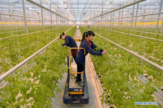 Workers take care of tomato plants in a greenhouse at a modern agriculture demonstration park in Nanhe County of north China's Hebei Province, Jan. 19, 2018. China's annual political sessions of the National People's Congress (NPC) and the National Committee of the Chinese People's Political Consultative Conference (CPPCC) are scheduled to convene in March, 2018. During the two sessions, development agendas will be reviewed and discussed, and key policies will be adopted. According to the 13th five-year plan for economic and social development of China covering the period 2016 to 2020, coordination has been emphasized as an integral quality of sustained and healthy development, which underlines advancing coordinated development between rural and urban areas, between different regions, and between economic and social development. (Xinhua/Zhu Xudong)