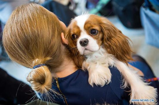 A woman holds a Cocker Spaniel at an international dog show in Vilnius, Lithuania, on March 4, 2018. Around 2,000 dogs from Lithuania, Latvia, Estonia, Sweden and other countries were presented in the event lasting from March 2 to March 4. (Xinhua/Alfredas Pliadis)