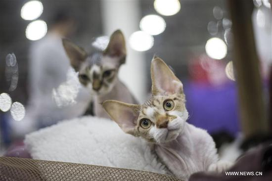 Cats are seen during an annual cat show in Moscow, Russia, on Dec. 3, 2017. More than 1,000 cats were exhibited during the cat show. (Xinhua/Alexander Zemlianichenko Jr)