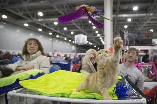 A cat plays a pet toy during an annual cat show in Moscow, Russia, on Dec. 3, 2017. More than 1,000 cats were exhibited during the cat show. (Xinhua/Alexander Zemlianichenko Jr)
