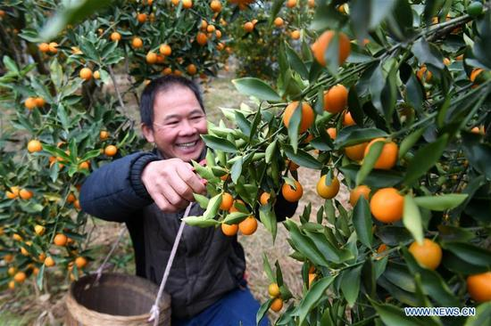 Villager Wei Yongfu collects fruits of kumquat at the orchard at Datan Village of Rong'an County, southwest China's Guangxi Zhuang Autonomous Region, Dec. 28. 2017. More than 7000 orders for the fruits of kumquat harvested in Rong'an County were made on e-commerce platform nationwide ahead of the New Year. (Xinhua/Zhang Ailin)