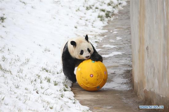 A giant panda plays in snow at Xi'an Qinling Zoological Park at the foot of Qinling Mountains in Xi'an, capital of northwest China's Shaanxi Province, Jan. 7, 2018. (Xinhua/Gou Bingchen)