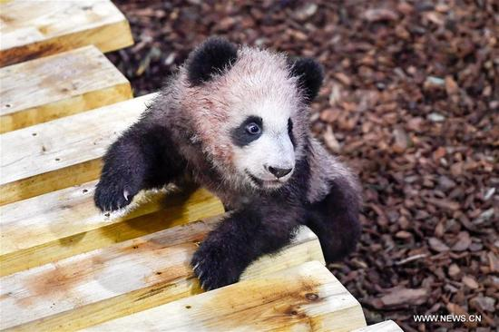 "Photo taken on Jan. 13, 2018 shows the panda baby ""Yuan Meng"" in Zooparc de Beauval, Saint-Aigan, France. The first panda cub born in France ""Yuan Meng"" debuts with the public on Saturday morning. (Xinhua/Chen Yichen)"