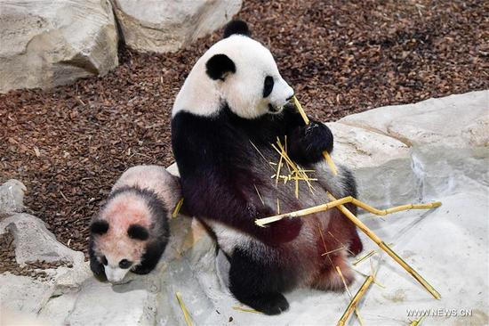 """Photo taken on Jan. 13, 2018 shows the panda baby """"Yuan Meng"""" and his mother """"Huan Huan"""" in Zooparc de Beauval, Saint-Aigan, France. The first panda cub born in France """"Yuan Meng"""" debuts with the public on Saturday morning. (Xinhua/Chen Yichen)"""