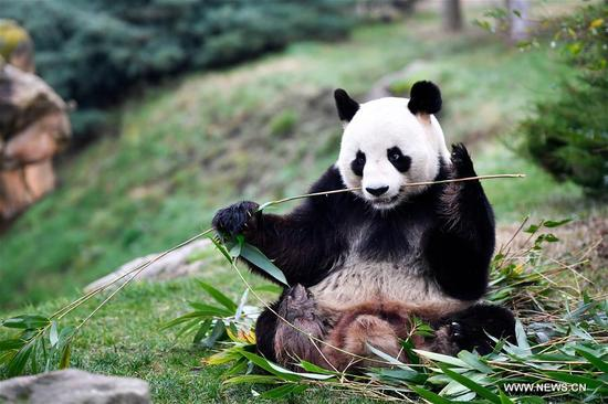 "Photo taken on Jan. 13, 2018 shows the male giant panda ""Yuan Zi"", the father of the panda baby ""Yuan Meng"" in Zooparc de Beauval, Saint-Aigan, France. The first panda cub born in France ""Yuan Meng"" debuts with the public on Saturday morning. (Xinhua/Chen Yichen)"
