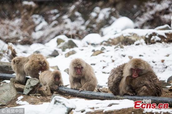 Japanese macaques, also known as snow monkeys, bathe in a hot spring in Nagano Prefecture, Japan. (Photo/VCG)